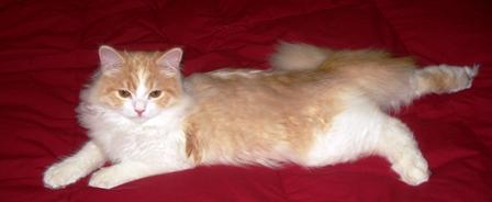 Ragamuffin Cat and Kitten Breeders- Testimonials | GW Muffins